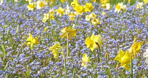 Narcissus Flowers In Springtime Stock Video Footage