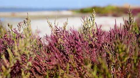 Salicornia europaea plant grows on heavily saline soils Archivo