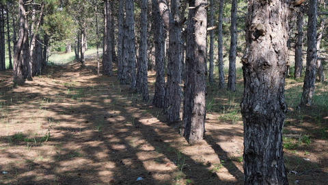 pine forest on a summer day, trees planted in a row Acción en vivo