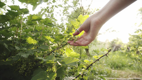 Young farmer checks the fruits of unripe currants in the organic garden Footage