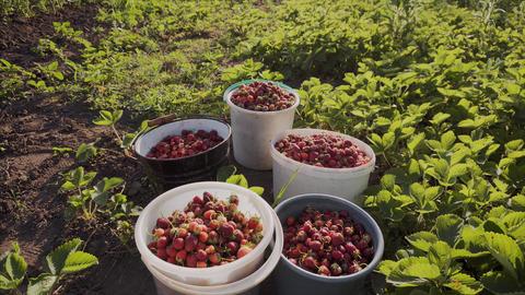 Harvest of ripe juicy strawberries in buckets in an organic garden Footage