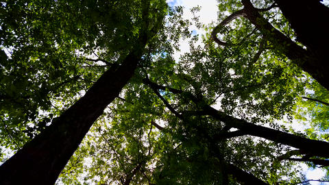 Low Angle View of Forest and Blue Sky With Wind Blowing. Upward Viewpoint of Woodland Trees and Footage