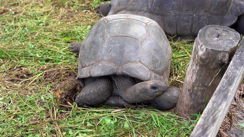 Seychelles. Praslin Island. Large turtles in the aviary on an exotic island Footage