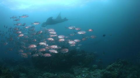 Oceanic Manta Ray in Raja Ampat 4k Footage