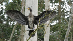Adolescent specimen of the great cormorant. Phalacrocorax carbo Live Action