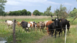 Herd of cows, calves and a bull in a pasture. Organic farming Live Action