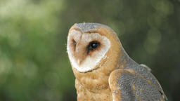 Barn owl. Tyto alba. Bird of prey Stock Video Footage