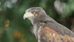 Harris's hawk. Parabuteo unicinctus. Bird of prey Live Action