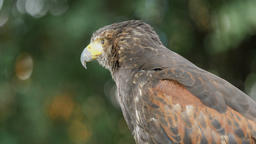 Harris's hawk. Parabuteo unicinctus. Bird of prey Stock Video Footage