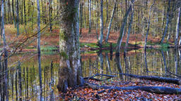 Wetland in the forest. Autumn Live Action