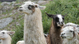 Group of llamas. Lama glama Live Action