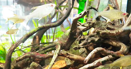 colorful fish tropical in the aquarium with blue water and real environment, flowing with slow Footage