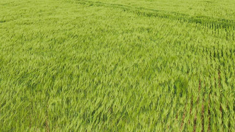 Flight over green wheat field Wind blow green spikes like sea waves Lush green Live Action
