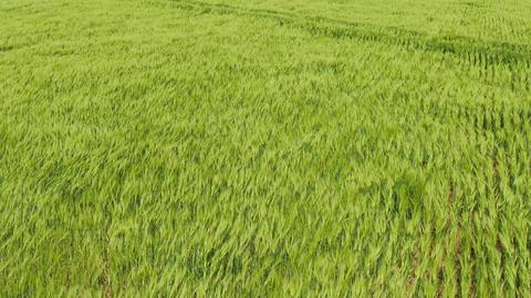 Flight over green wheat field Wind blow green spikes like sea waves Lush green ビデオ