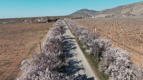 a quadrocopter shot of an old road with a flowering almond on which the car Footage