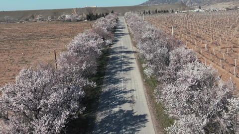 a quadrocopter shot over the road with flowering almond among the fields in the Footage