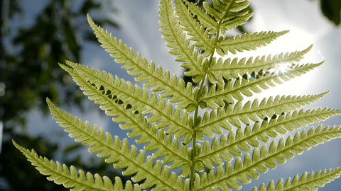 Slow motion slose up shot of Fern leaf over blue sky and green trees background Footage