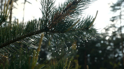 Close up of rain droplets falling from pine tree branches. in slow motion Footage