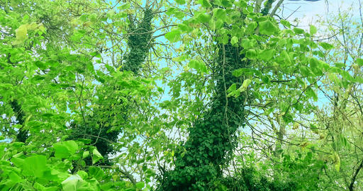 forest trees silhouette and green spring summer leaves Footage