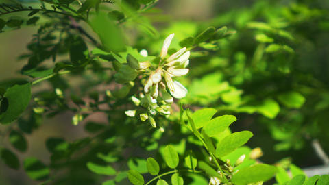 Flowering acacia tree closeup. Flowers and leaves of white acacia sway in the Live Action