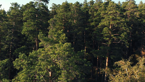 Coniferous forest top view aerial photography a dense pine forest of pines and Footage