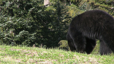 Black Bear Looking For Food Live Action