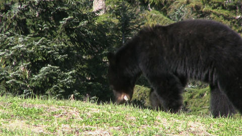 Black Bear Looking For Food Stock Video Footage