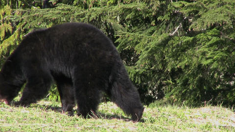 Black Bear Eating Grass Stock Video Footage