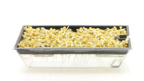 Time-lapse of growing fenugreek seeds in germination box 1a Stock Video Footage