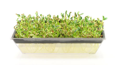 Time-lapse of growing fenugreek seeds in germination box 1a Footage