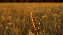 Head of Wheat Blowing in the Breeze Stock Video Footage
