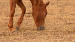 Horse Grazing in a Dry Australian Field Stock Video Footage