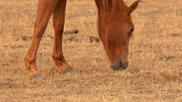 Horse Grazing in a Dry Australian Field Stock Video Footage