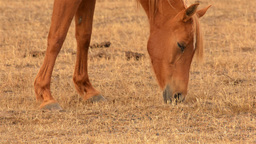 Horse Grazing in a Dry Australian Field Footage