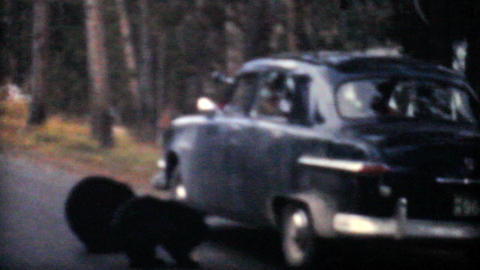 Bear Cubs Being Fed From Cars 1958 Vintage 8mm film Stock Video Footage