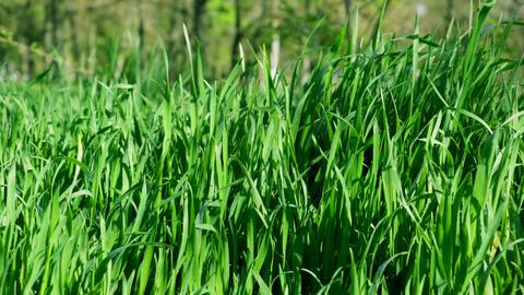 green fresh grass with long leaves on a summer day Acción en vivo