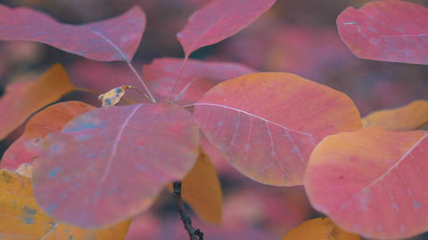 Real Time Autumn Maple Tree Footage