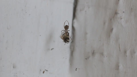 Spider and prey. The spider covers its prey with a spider web Live Action