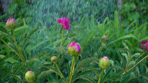 The buds of the peonies look beautiful in the water droplets. Peony Bush watered Footage