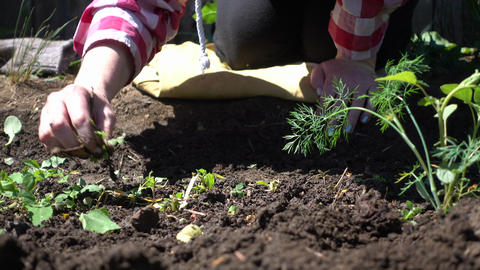 Farmer weeds rows. Farm season for growing greens Footage