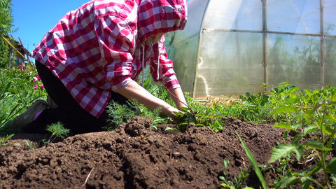 Farm work on the plot on a Sunny day. The farmer hands weeding young bushes Live Action