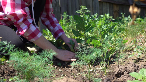 Farmer hands cleans weeds from the rows on a Sunny day, close-up Live Action