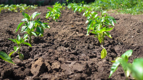 Growing organic bell peppers on farmland. Beautiful pepper seedling grow in the Live Action