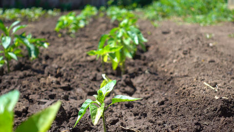 Organic vegetable crops grow in fertile soil on the environmentally friendly Live Action