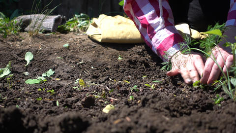 Farmer hands cleans the soil from weeds on a Sunny day Live Action