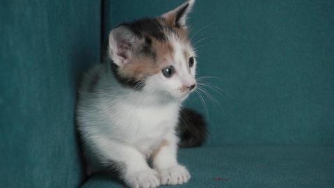 Sweet cat portrait LOOP footage. Kitten is looking environment Footage