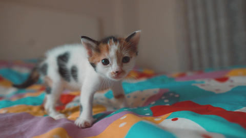 Meowing kitten, baby cat on colorful background. Sweet new born pet, feline is meow and searching Footage