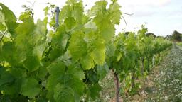 Vineyard Fields at Sunset Vine Lane Closeup Footage