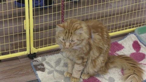 Kitten breed Maine-Kun Footage