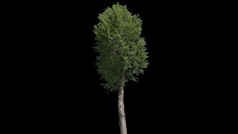 Populus Nigra Isolated Tree Footage